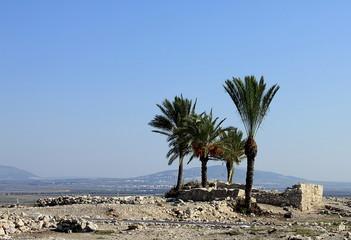Date palms amid the ruins of Megiddo. Tel Megiddo National park, Israel
