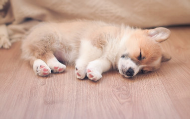 homemade puppy of corgi sleeps peacefully on wooden floor in the house stretched out small paws