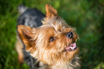 close up portrait of pretty, sweet, small, little dog Yorkshire terrier, looking happy Wall mural