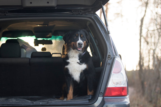Dog rides in the trunk of car