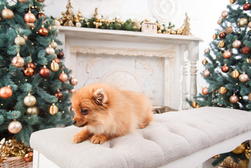 Small cute funny pomeranian dog sitting at sofa on Christmas tree background