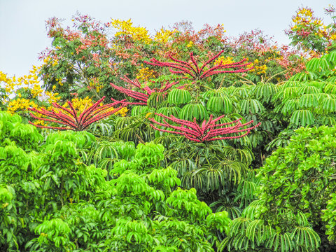 Garden in Florida with desert tropical plants with pink flowers called
