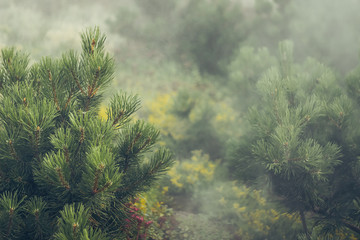 The fog of Dalat plateau lands, Vietnam background pine forest with fog and sun rays