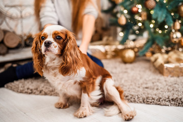 Young girl with cute spaniel dog on a Christmas background. Christmas celebration.
