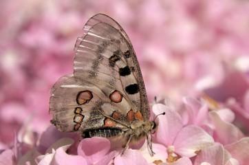 Parnassius apollo; Apollo Butterfly in the Swiss Alps
