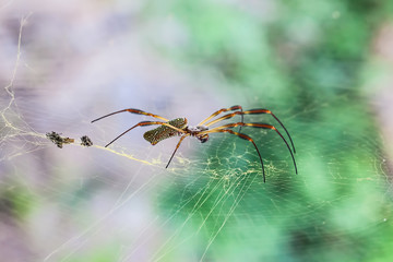 Golden web spider (Nephila maculata ) on web