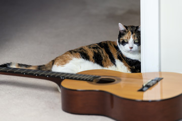 Female calico cat sitting, lying on carpet floor, looking at musical instrument guitar, curious in home, house room studio