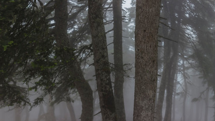 Conifer trees on misty day