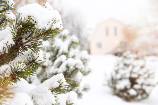 fir branches covered with snow and house in the distance. rural view, blurred background