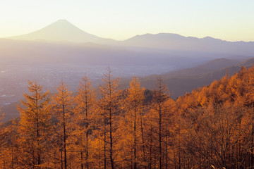The Larch Forest and Fuji in the morning glow - 朝焼けのカラマツ林と富士