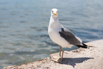 Larus seagull standing at the seaside, clear look