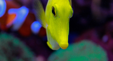 Zebrasoma the Hawaiian Yellow tang fish