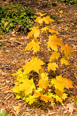 Young Sugar Maple in Autumn