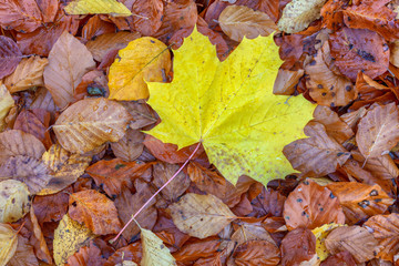 Maple leaf lies on top of many other leaves