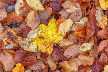 Multicolored leaves on the forest floor top down view
