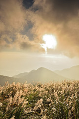 Chinese silvergrass in sunset background at Yangmingshan National Park, Taipei, Taiwan