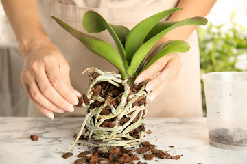 Tuinposter Orchidee Woman transplanting orchid plant on table, closeup