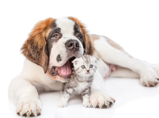 playful St. Bernard puppy hugging a kitten. isolated on white background