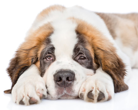 Sad St. Bernard puppy looking at camera. isolated on white background