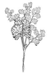 Coriander leaves hand drawn on white background