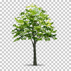 Tree isolated on transparent background with soft shadow. Use for landscape design. Park and outdoor object idea for natural article both on print and website. Vector.