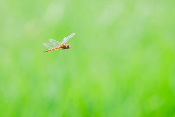 flying dragonfly, picture for natural green background.