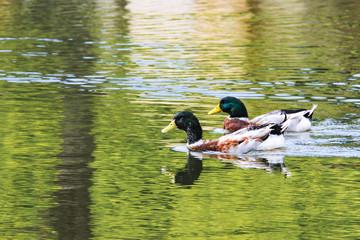 池で泳ぐ鴨