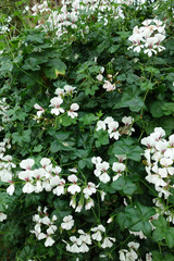 オンシジウム 白い花 植物