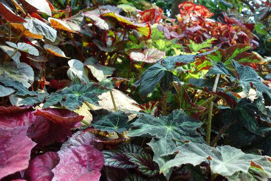 緑の葉 赤い葉 ガーデニング