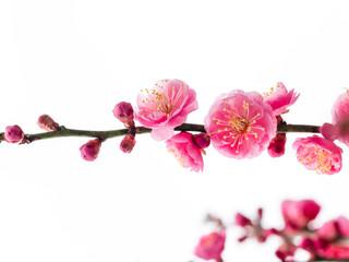 Ume is Japanese plum.