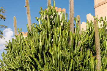 Green Cactus with Blue Sky - Succulent Plant