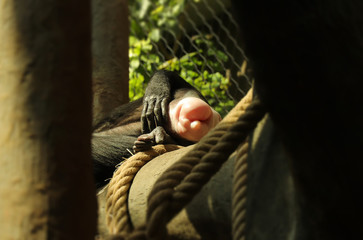 A pink but of chimpanzee lying on big branch. A robust chimpanzee has deserved rest after long day