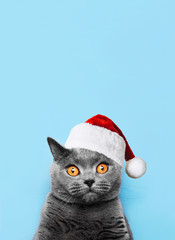 British cat on a blue background wearing Santa hat for Christmas