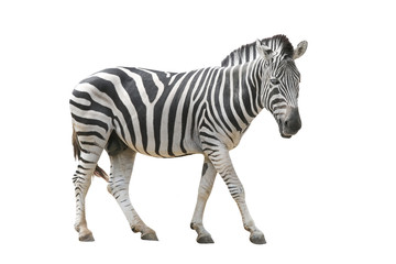 Aluminium Prints Zebra zebra isolated on white