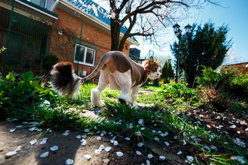 Wall Mural - Norwegian Forest Cat walks through the courtyard of the house in the garden which is covered with petals of a blossoming tree apricot
