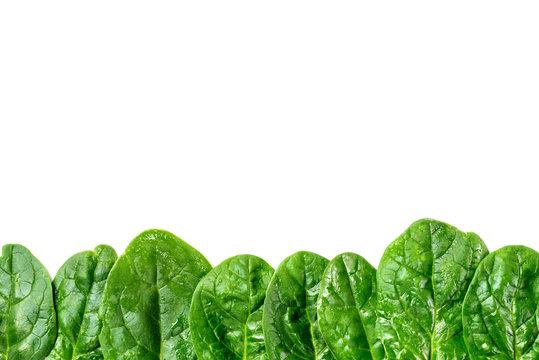 Row of green spinach leaves isolated on white