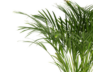Decorative Areca palm on white background