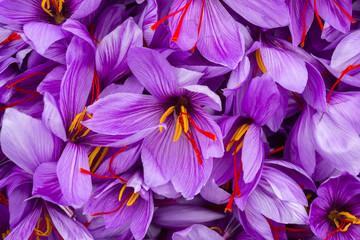 Harvesting the saffron flower. After collection flower buds. Big quantity.