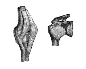 Vintage illustration of anatomy, knee and shoulder articulation