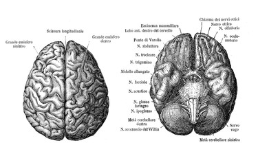 Vintage illustration of anatomy, brain upper and from below view, anatomical descriptions in italian