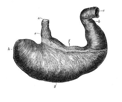 Vintage illustration of anatomy, human stomach