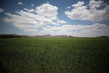Wheat grows on a farm beside the Orange River, near Van Der Kloof