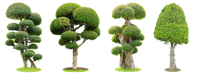 Printed kitchen splashbacks Bonsai Bonsai trees isolated on white background. Its shrub is grown in a pot or ornamental tree in the garden.