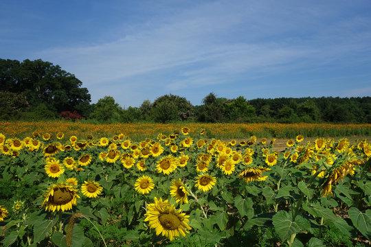 Dix Park sunflowers