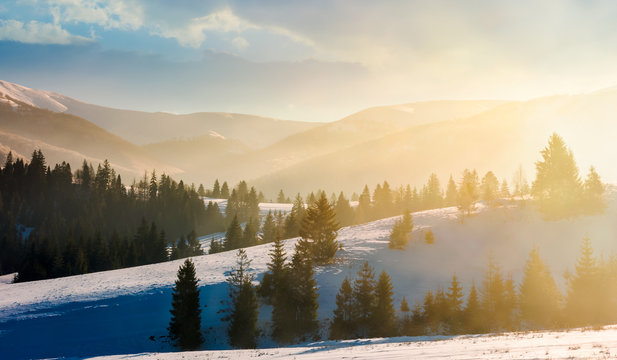 gorgeous winter landscape in glowing fog. marvelous nature scenery in mountains with spruce trees on a rolling snowy slopes. beautiful sunny morning