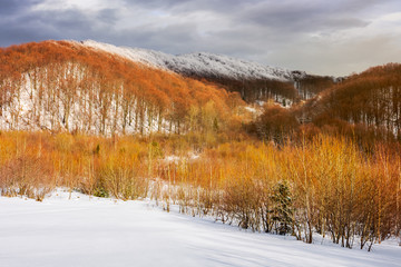 leafless beech forest in winter. birch trees on a near snowy slope. beautiful scenery in mountains