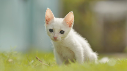 The white asian and thin kitten runs on a grass. Asian breed.