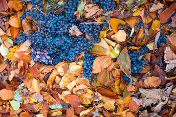 grapes and a lot of autumn leaves