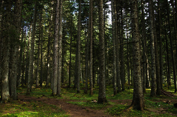 Virgin, dense pine forest, beautiful nature of Montenegro.