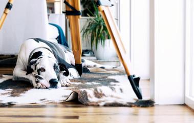 Harlequin great dane dog on animal print area rug under tripod looking sad